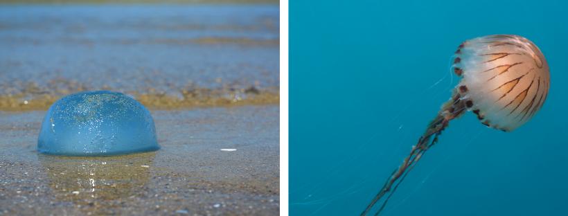 Cyanée bleue et méduse rayonnée