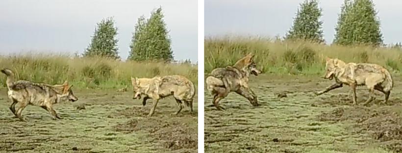 Deux loups répondant à leur invitation respective au jeu