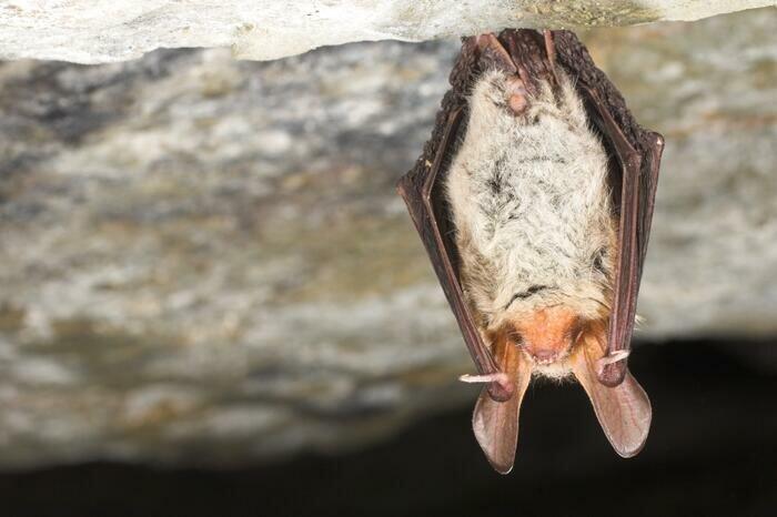 Murin de Bechstein suspendu au plafond d'une grotte