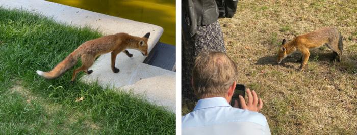 Un renard urbain devant l'objectif