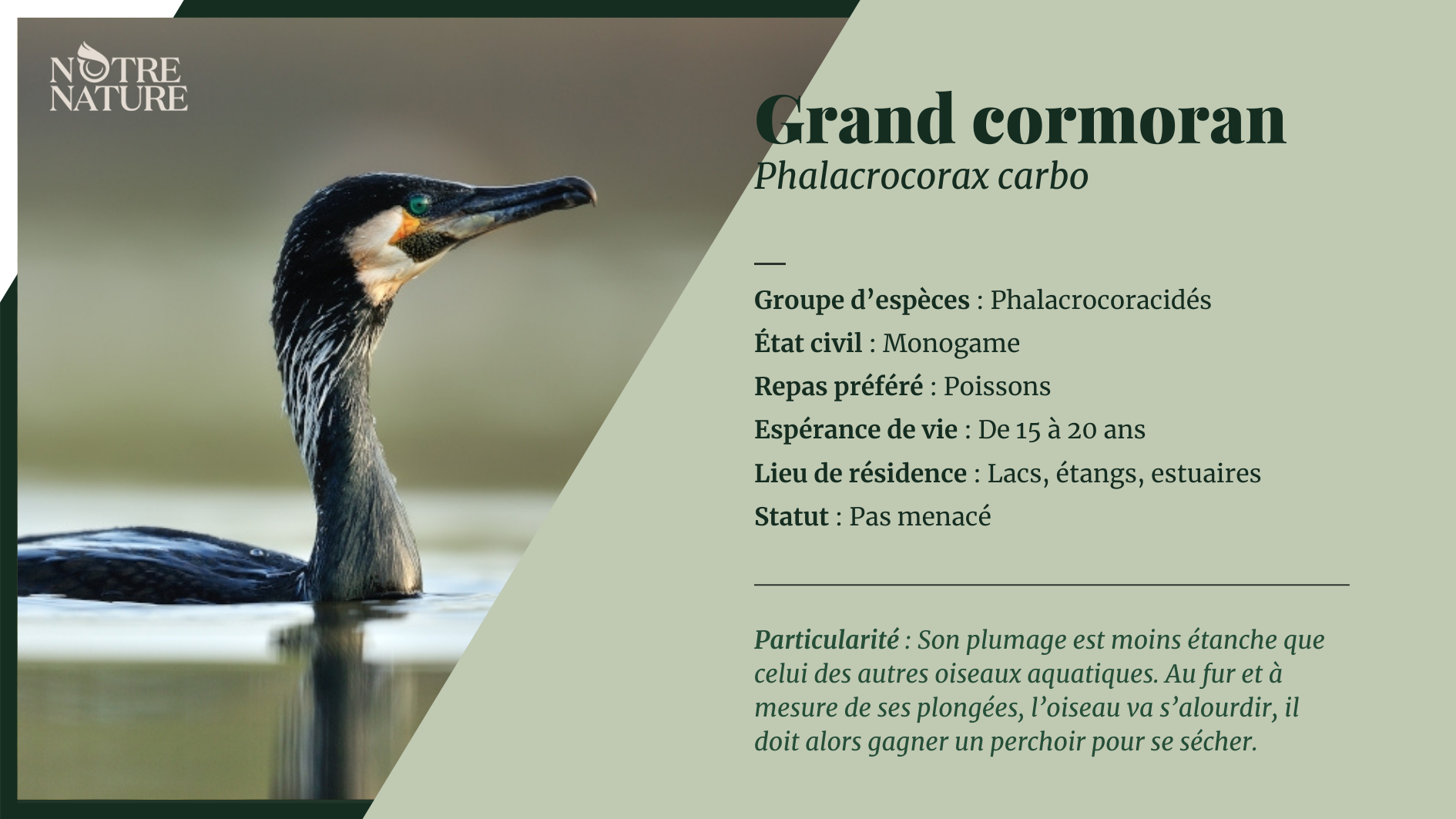 on-fiche-grand-cormoran.png