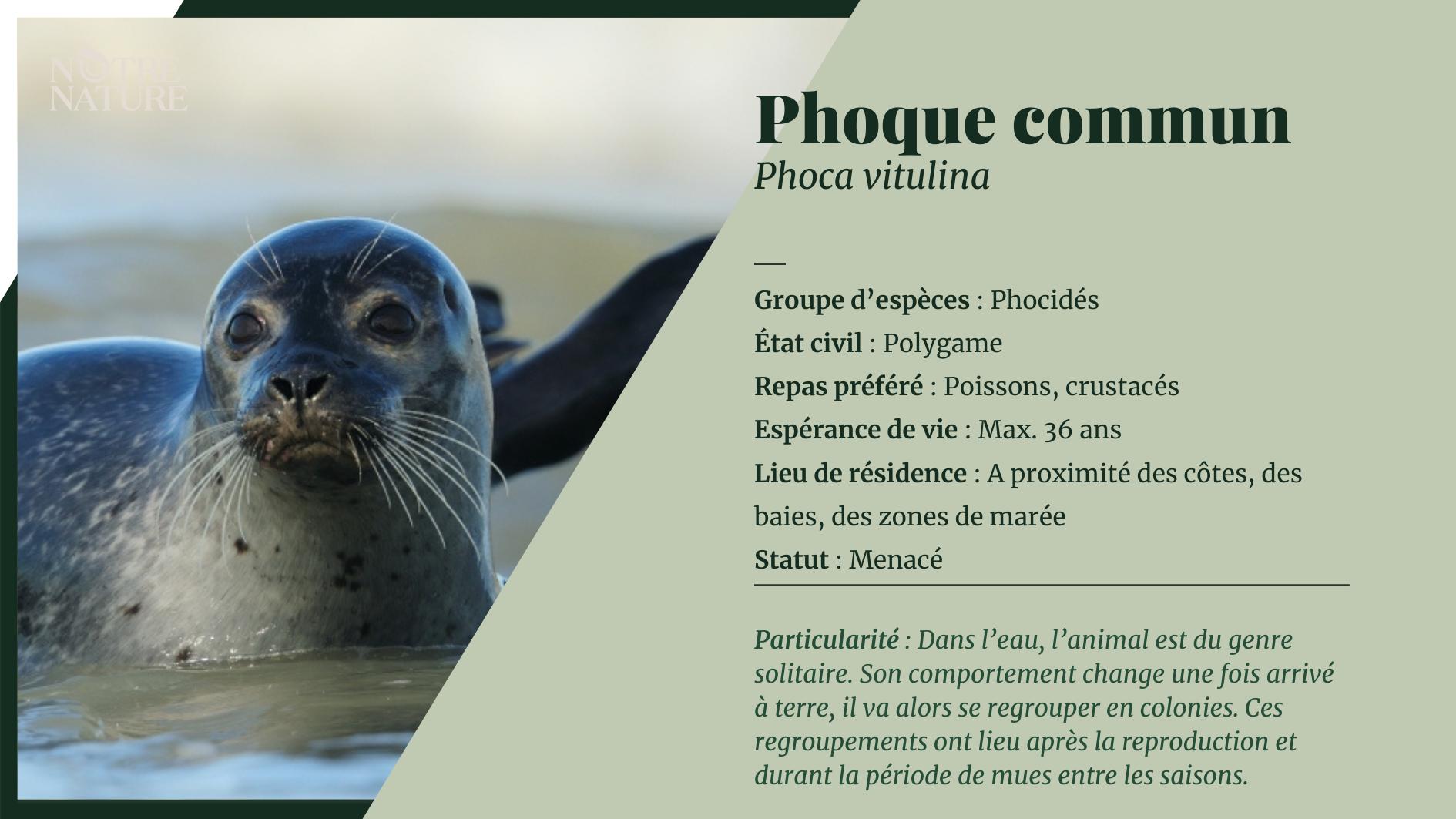 on-fiche-phoque-commun.png
