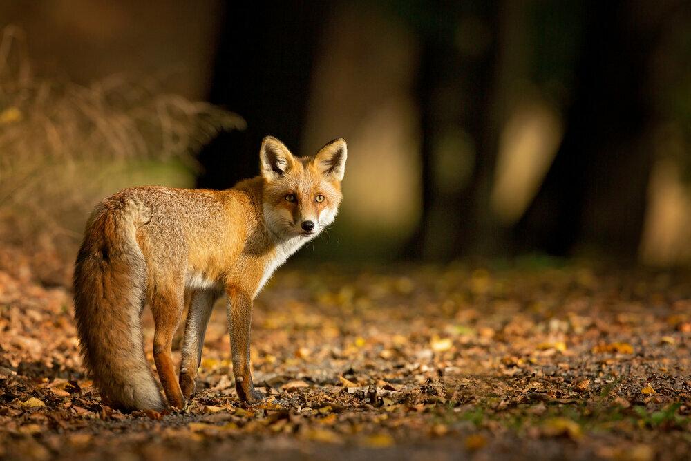 Le renard, l'un de nos favoris