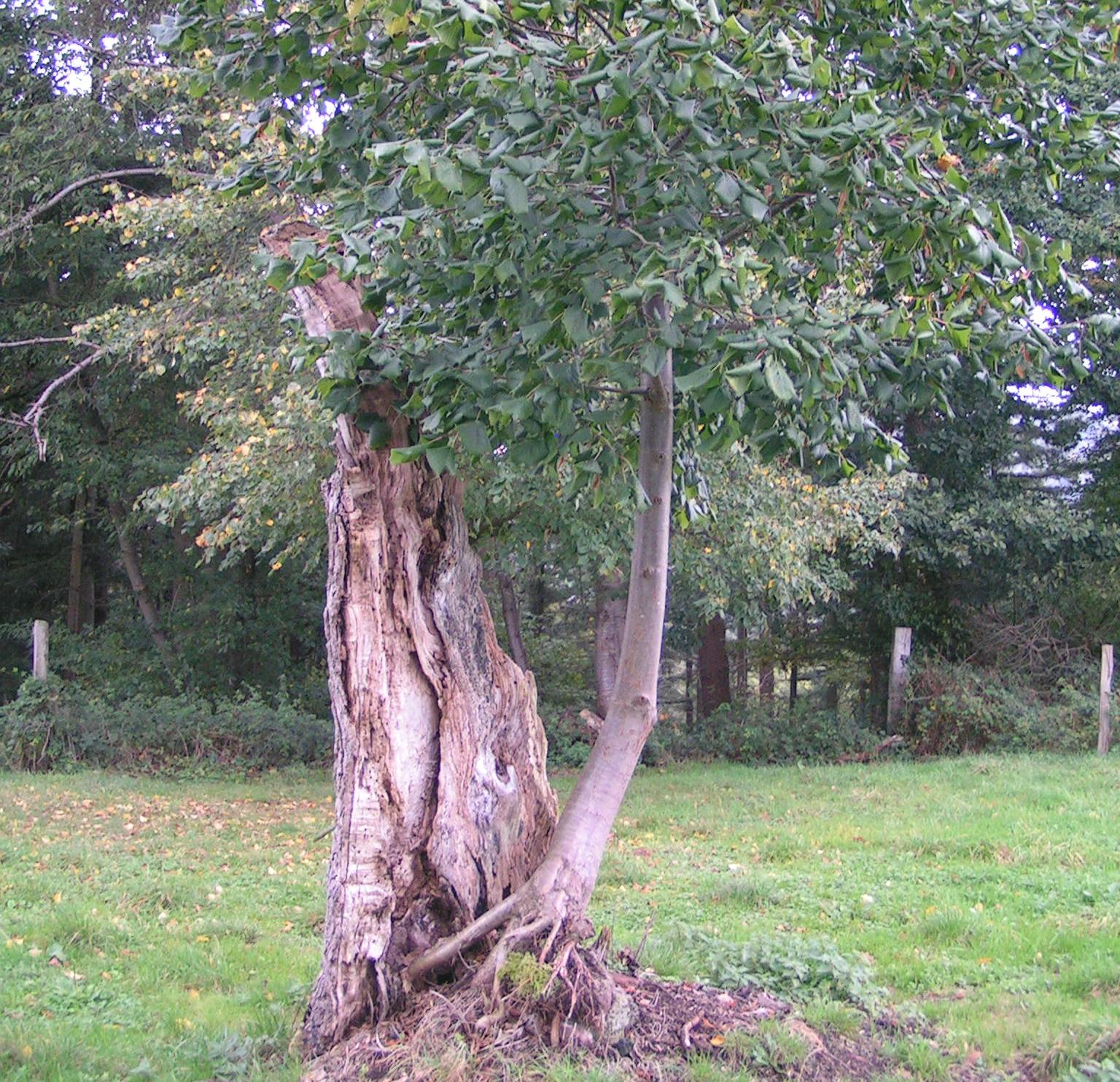 Le tilleul du pendu, brisé lors d'un orage en 2013