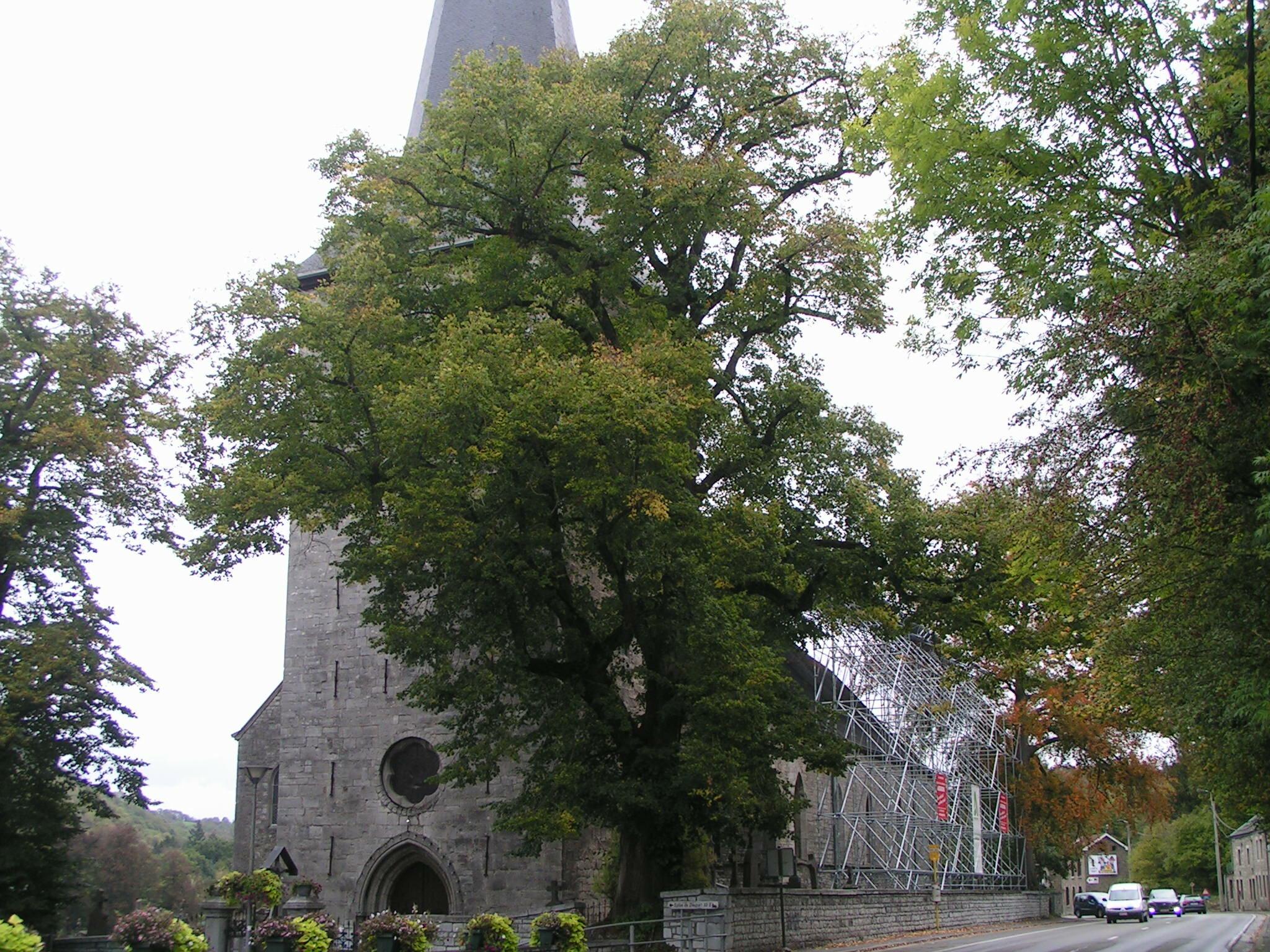 Le tilleul et l'if remarquables, devant et derrière l'église de Dieupart