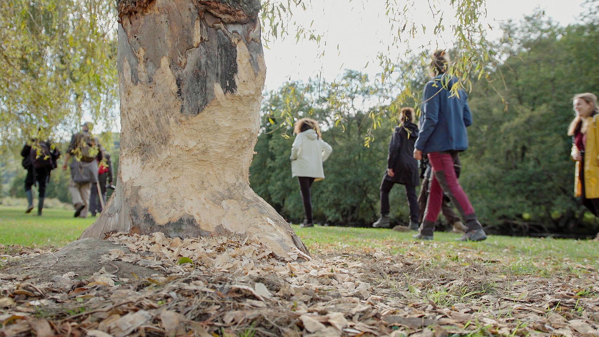 Wandelen naar de Ourthe, voorbij een boom met beversporen