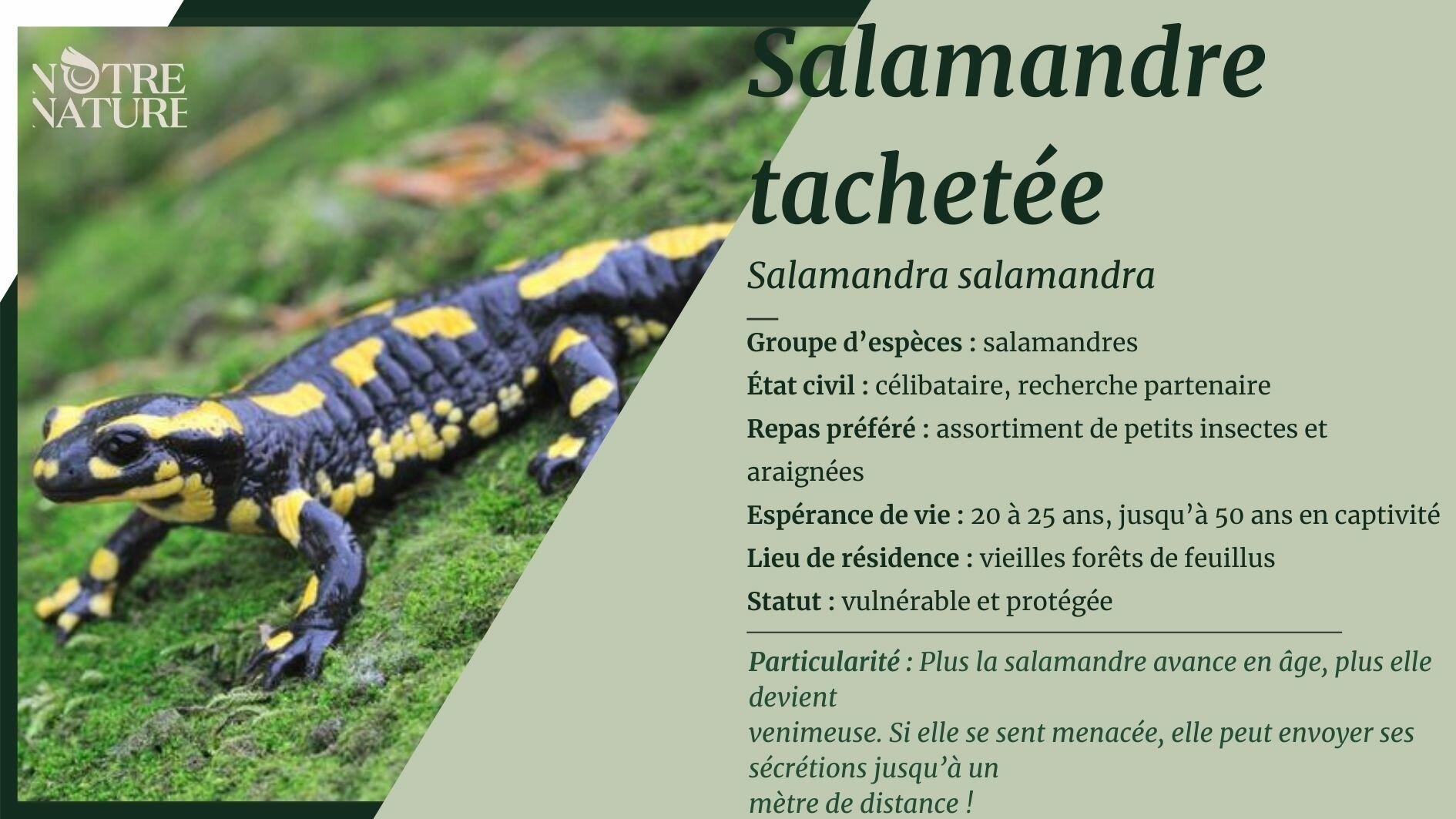 Tout sur la salamandre tachetée
