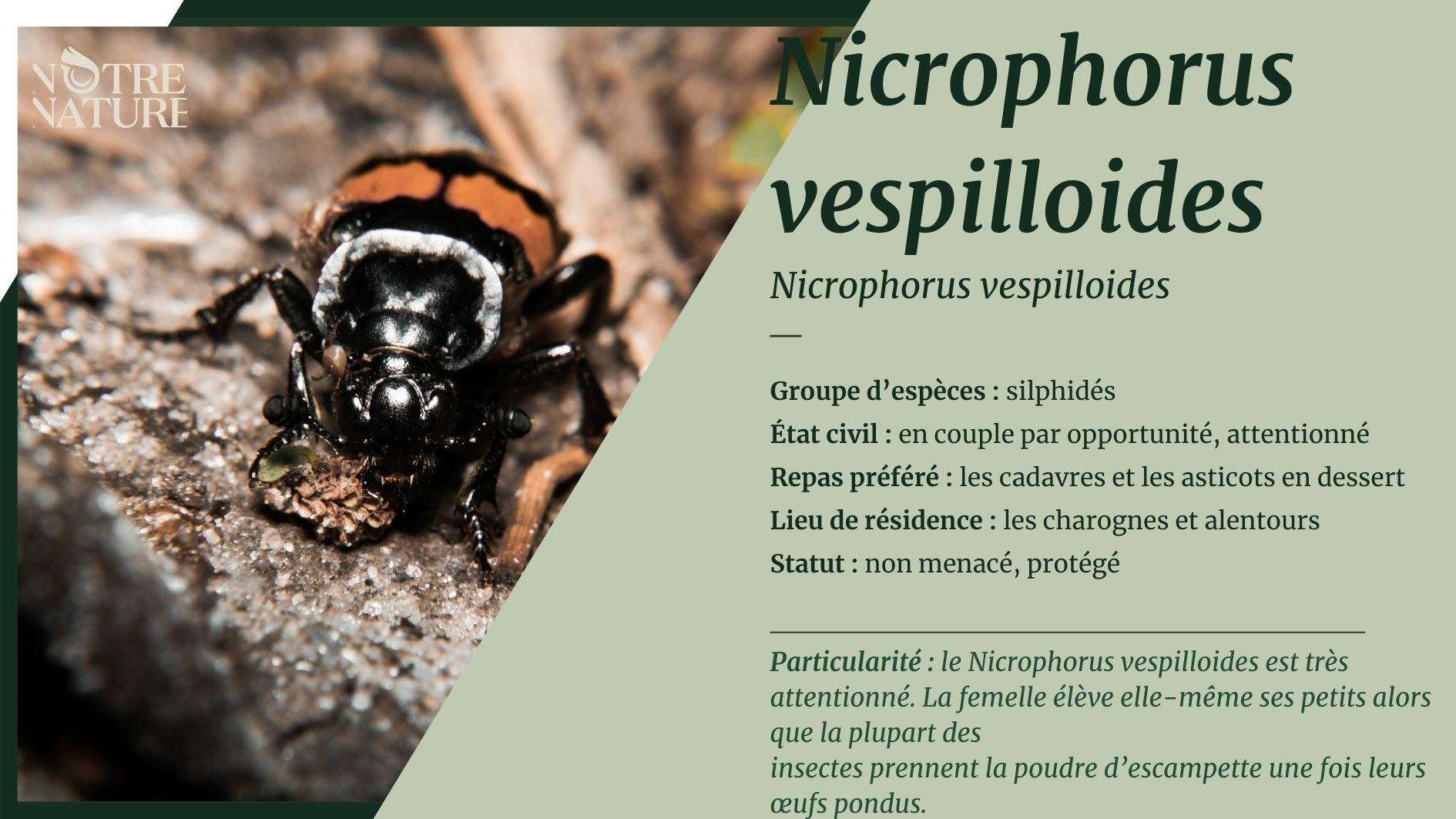 nicrophorus-fiche.jpg