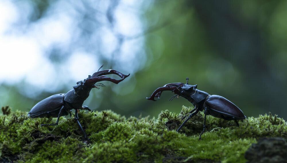 Deux mâles s'affrontent.