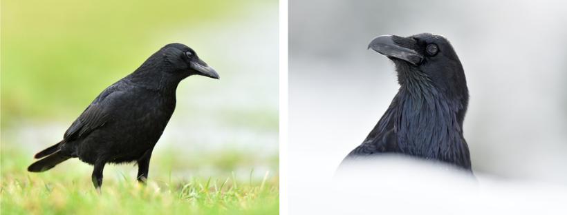 A gauche : une corneille noire, à droite : un grand corbeau. La photo figurant en haut de cet article montre un corbeau freux.
