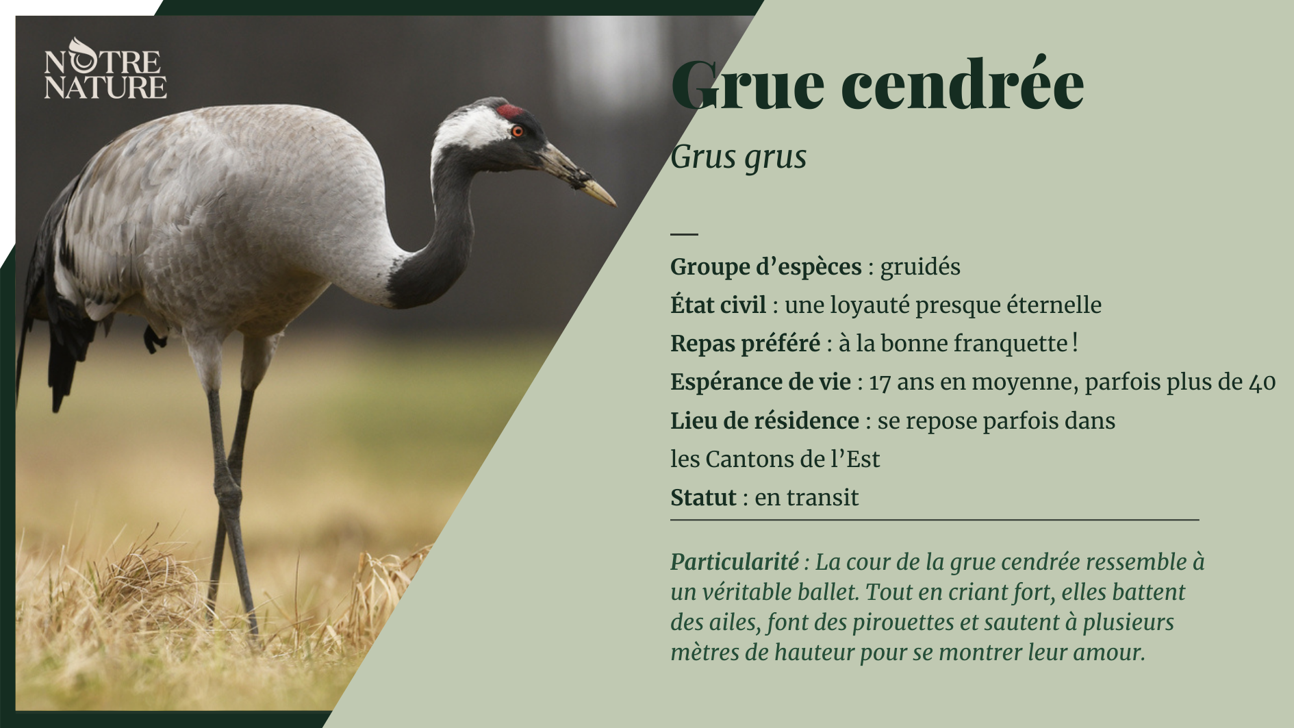 grue-cendree.png