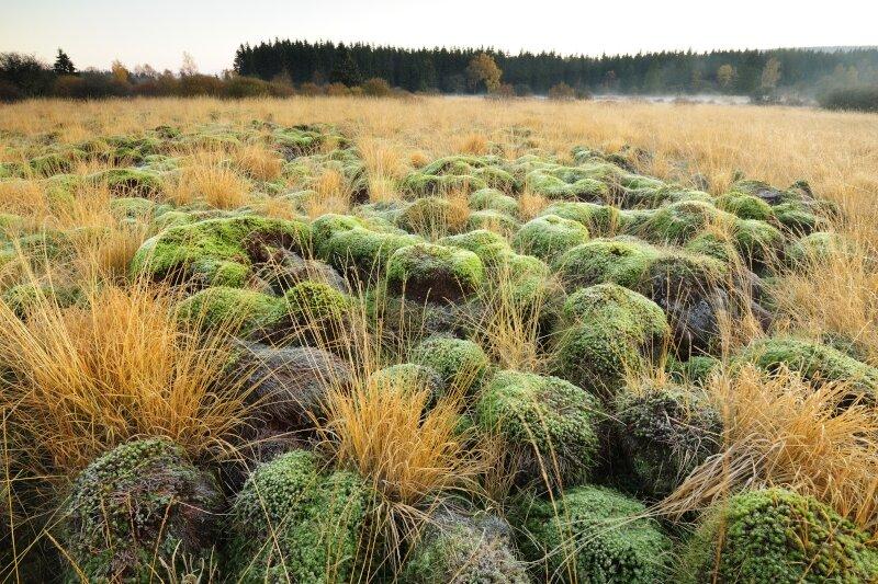 Gewoon haarmos tussen bovengronds afgestorven graspollen