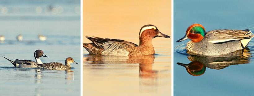 À gauche: couple de canards pilets, au milieu: sarcelle d'été mâle, à droite: sarcelle d'hiver mâle