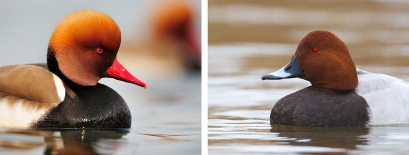A gauche : Nette rousse mâle. A droite : Fuligule milouin mâle