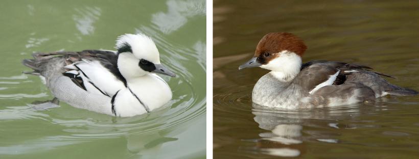Harle piette mâle (à gauche) et femelle (à droite).