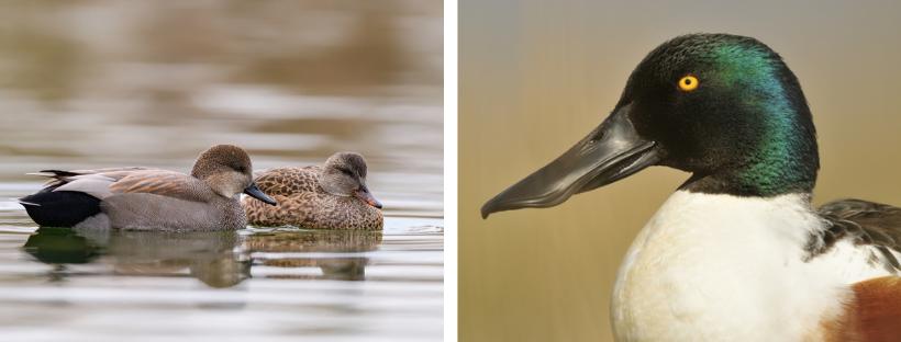 A gauche : couple de canards chipeaux ; à droite : mâle canard souchet