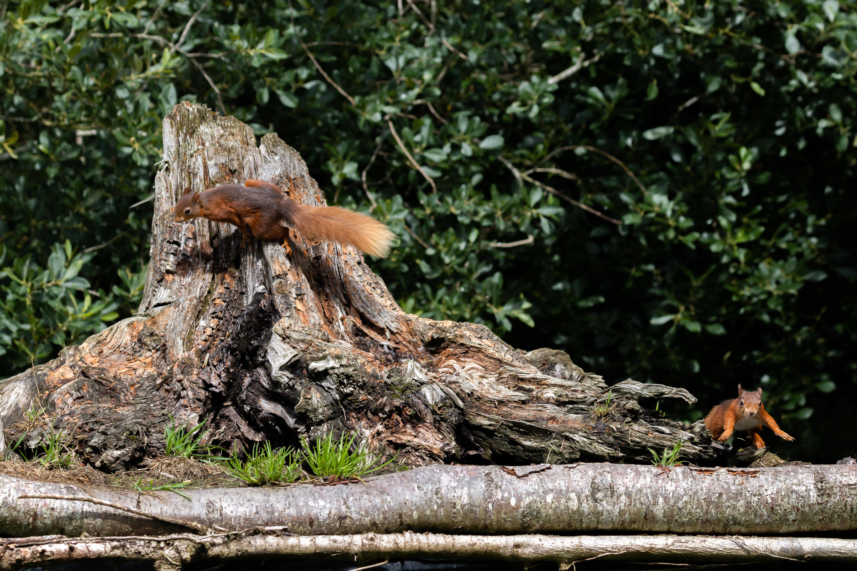 Eekhoorns achtervolgen elkaar