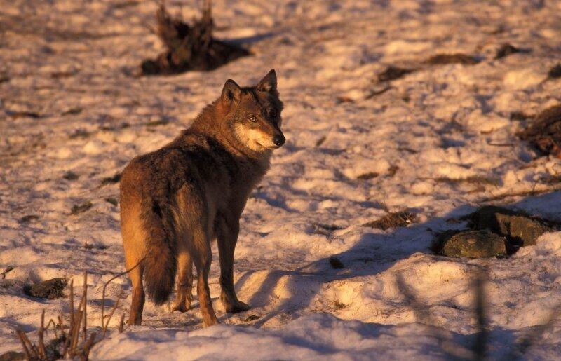 vilda-450-wolf-in-avondlicht-rollin-verlinde-800-px-50580.jpg