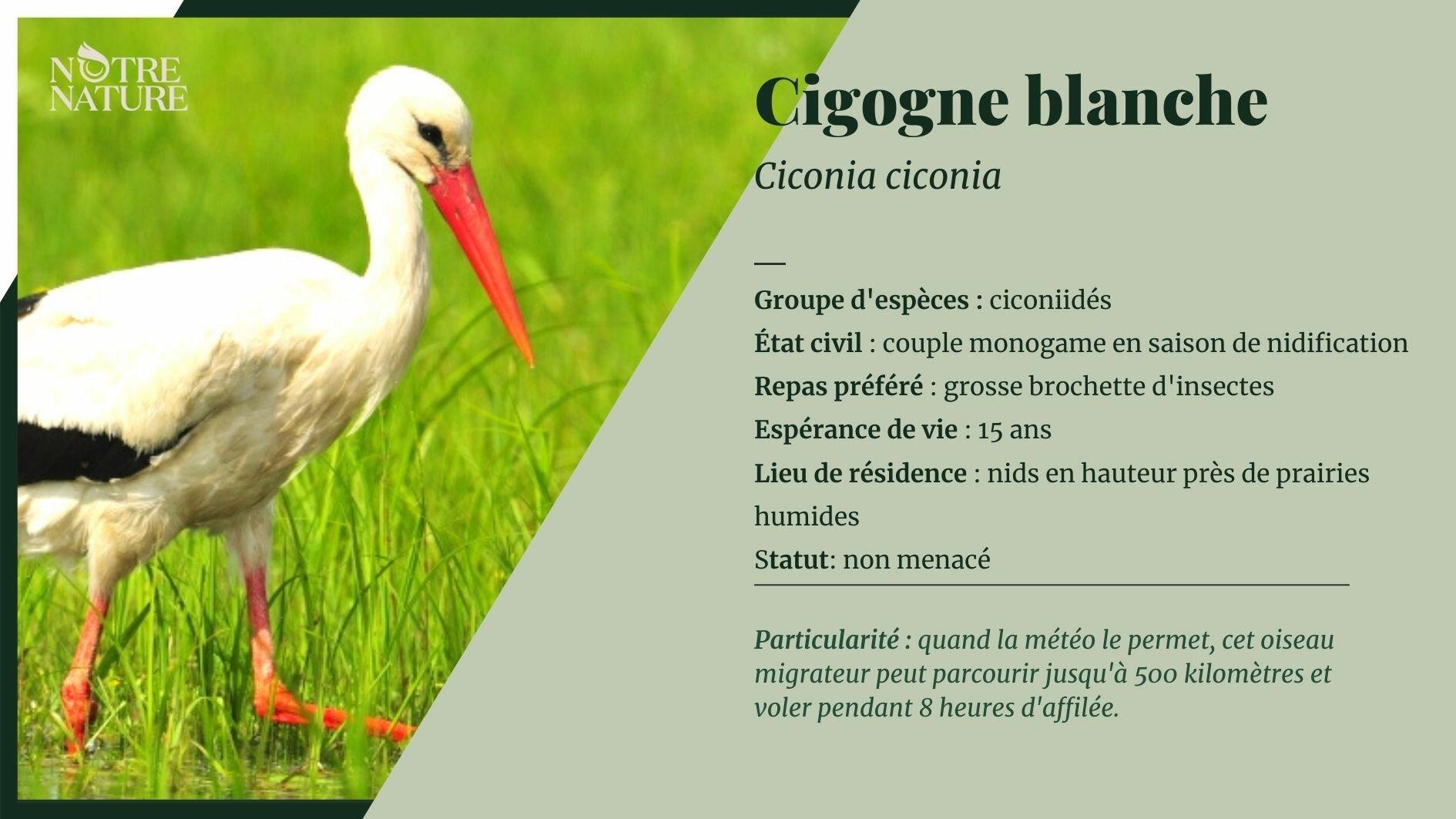 cigogne-blanche.jpg