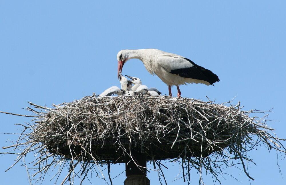 ooievaar-nest-met-jongen.jpg