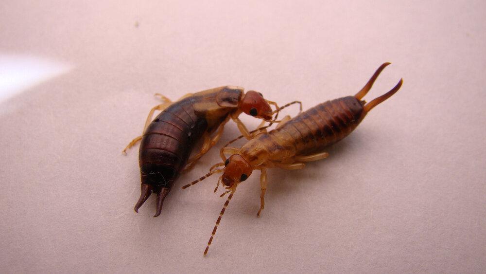 à gauche : la femelle, à droite : le mâle