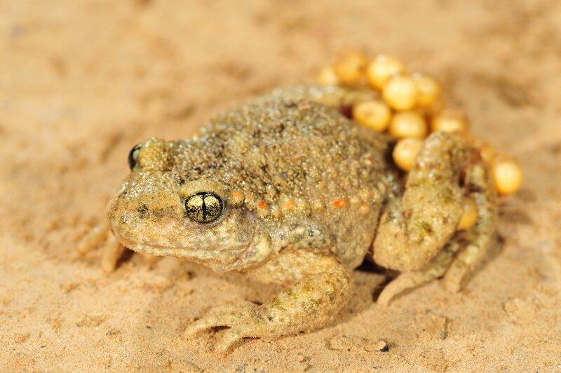 Alyte accoucheur mâle et ses œufs sur le dos