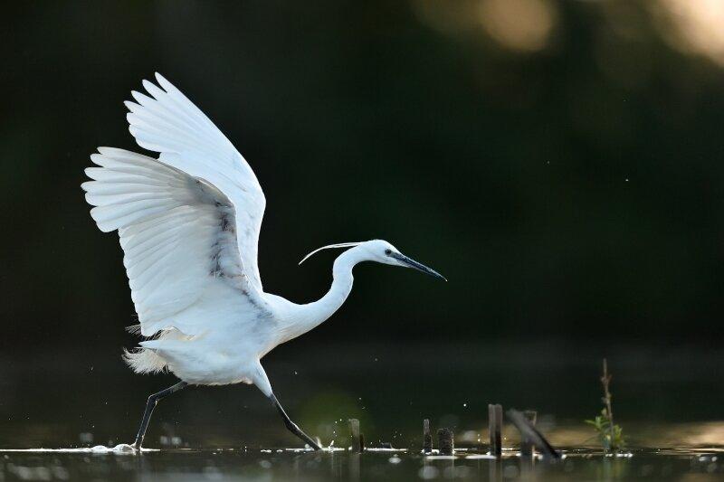 L'aigrette garzette se déplace dans l'eau les ailes déployées