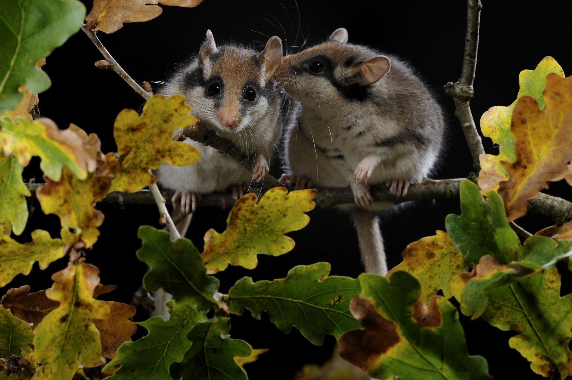 Couple de lérots sur une branche
