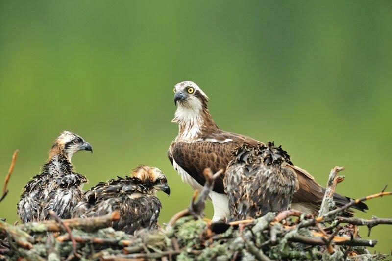 Balbuzard pêcheur au nid avec ses petits