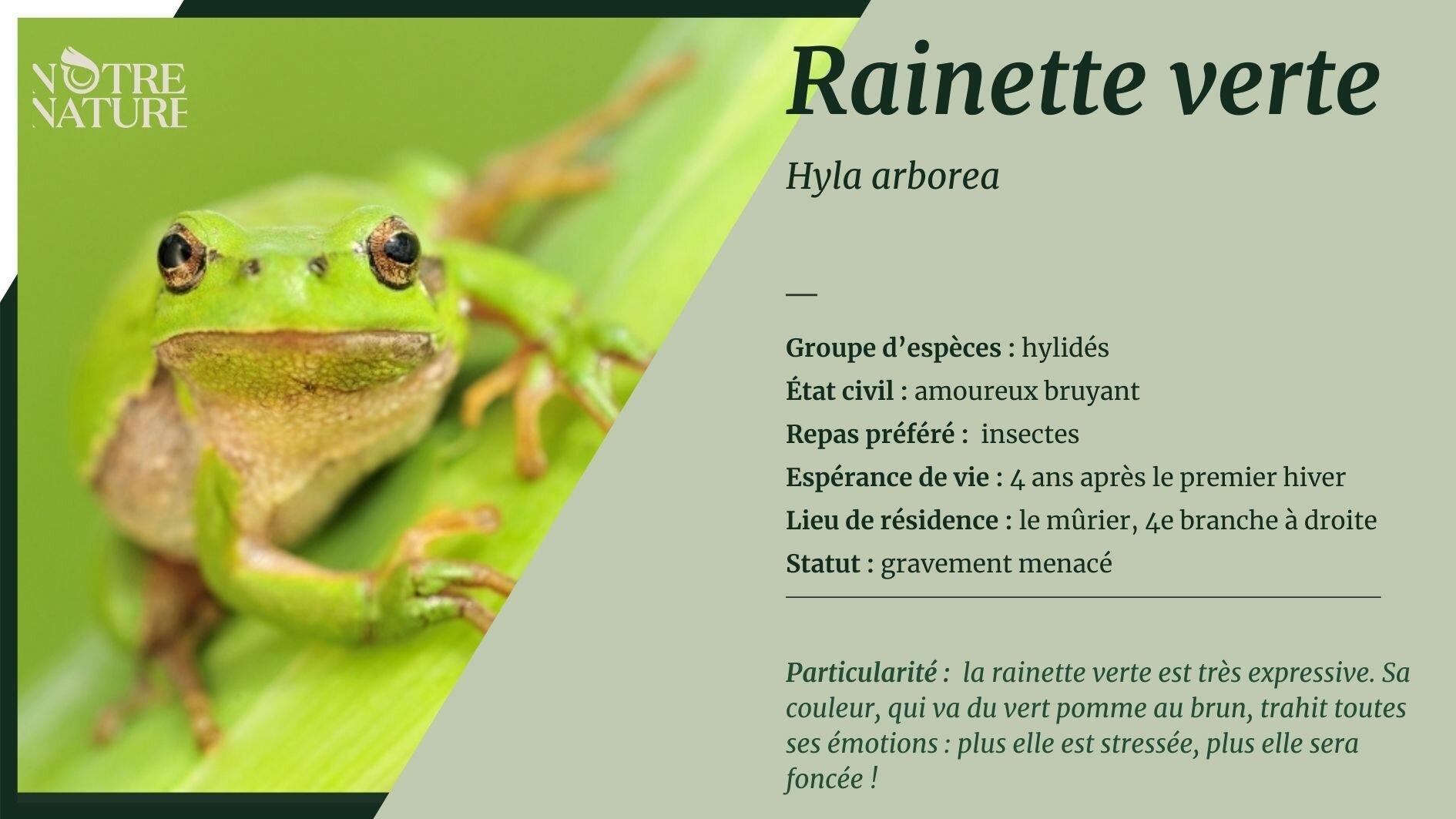 Tout sur la rainette verte