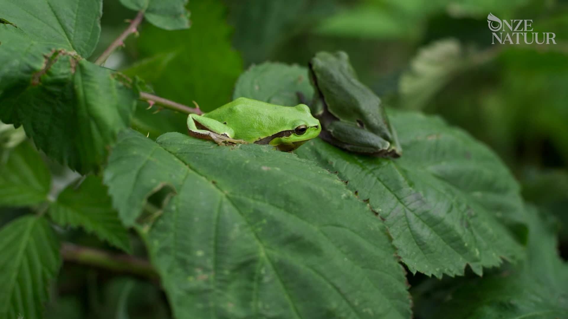 Rainette verte dans la végétation
