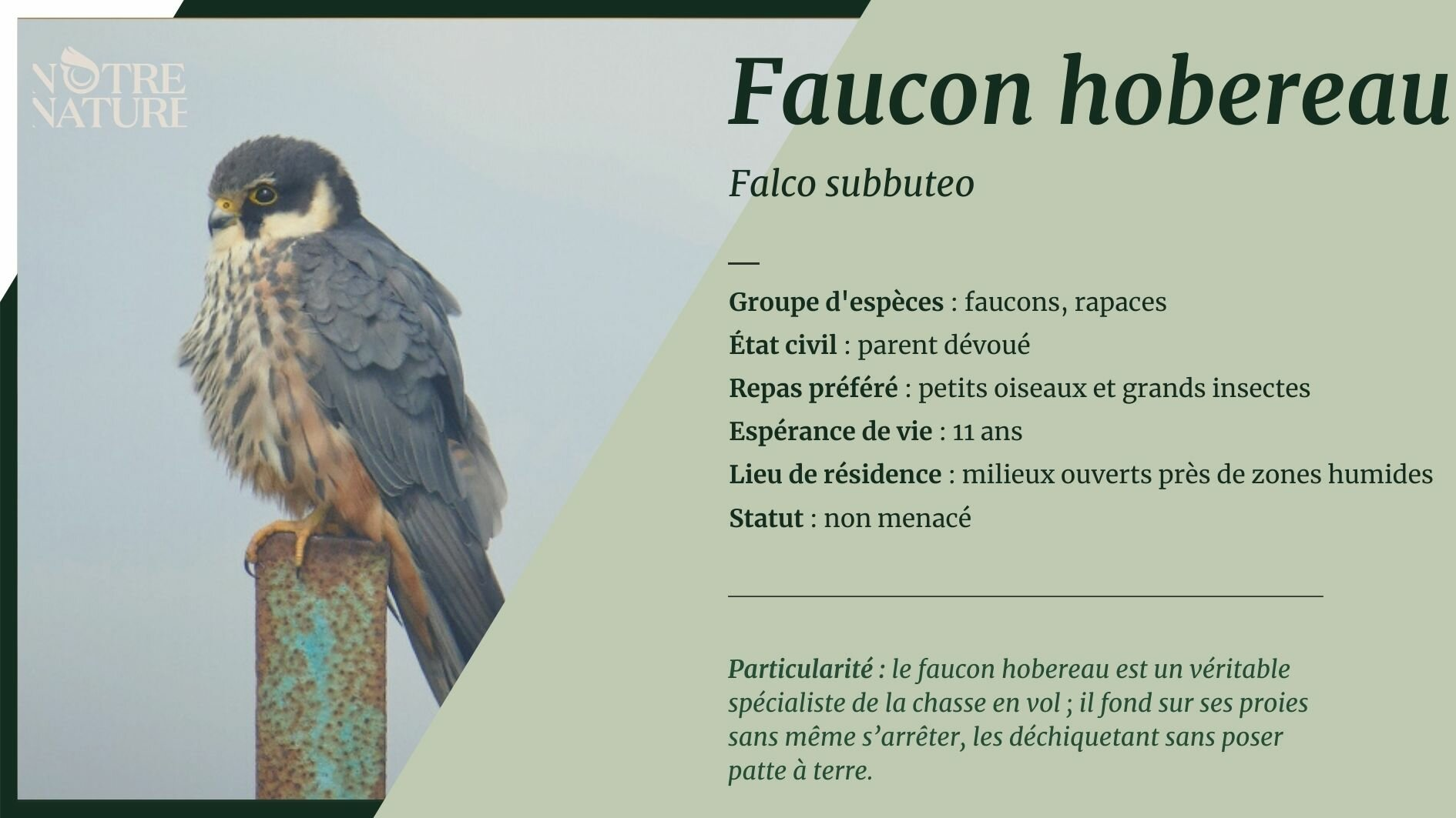 Tout sur le faucon hobereau