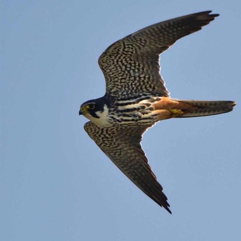 faucon-hobereau-heen-4g.jpg