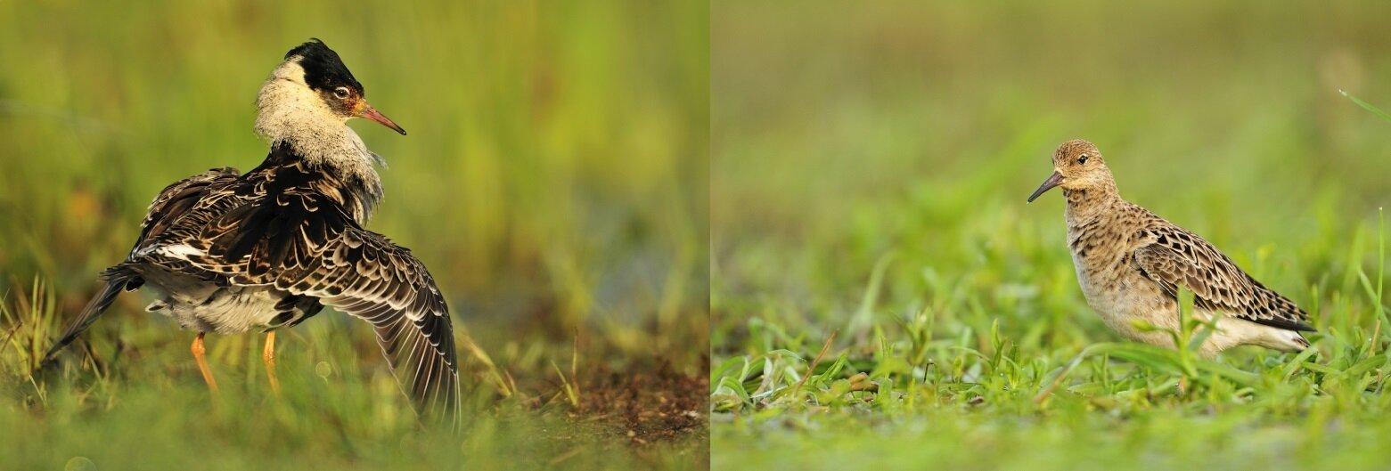 Combattants variés : à gauche, un mâle avec sa collerette, à droite : plumage de femelle et de mâle faeder