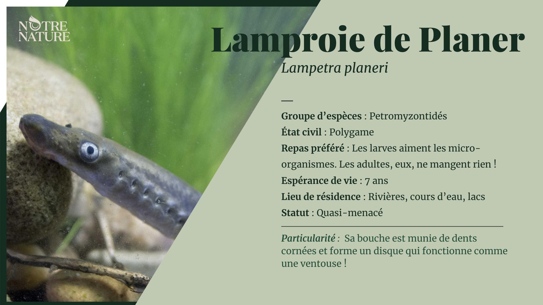 Tout sur la lamproie