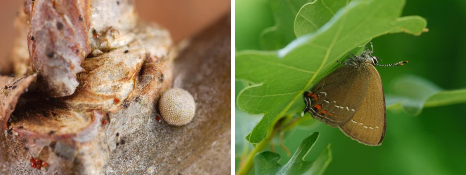 La Thécla de l'yeuse (à droite) pond ses œufs (à gauche) sur le chêne pédonculé