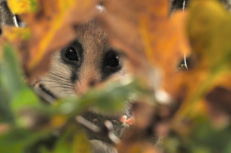 Lérot entre des feuilles de chêne