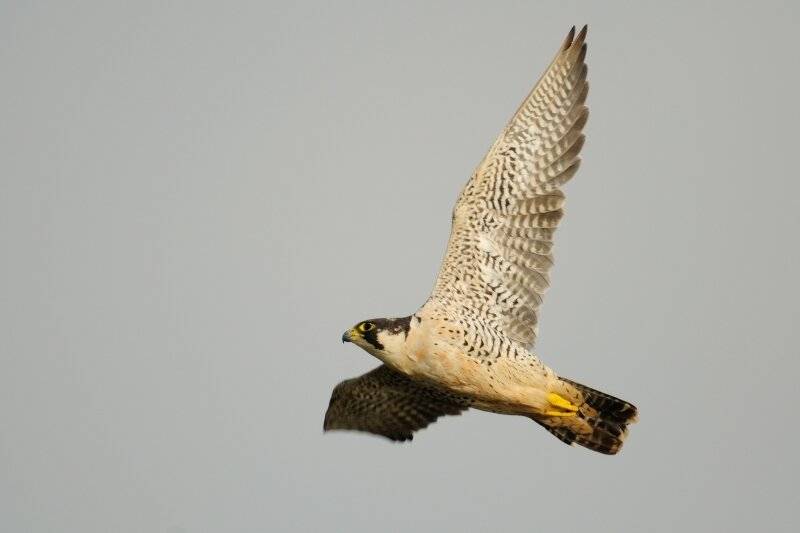 Faucon pèlerin en vol avec les ailes déployées