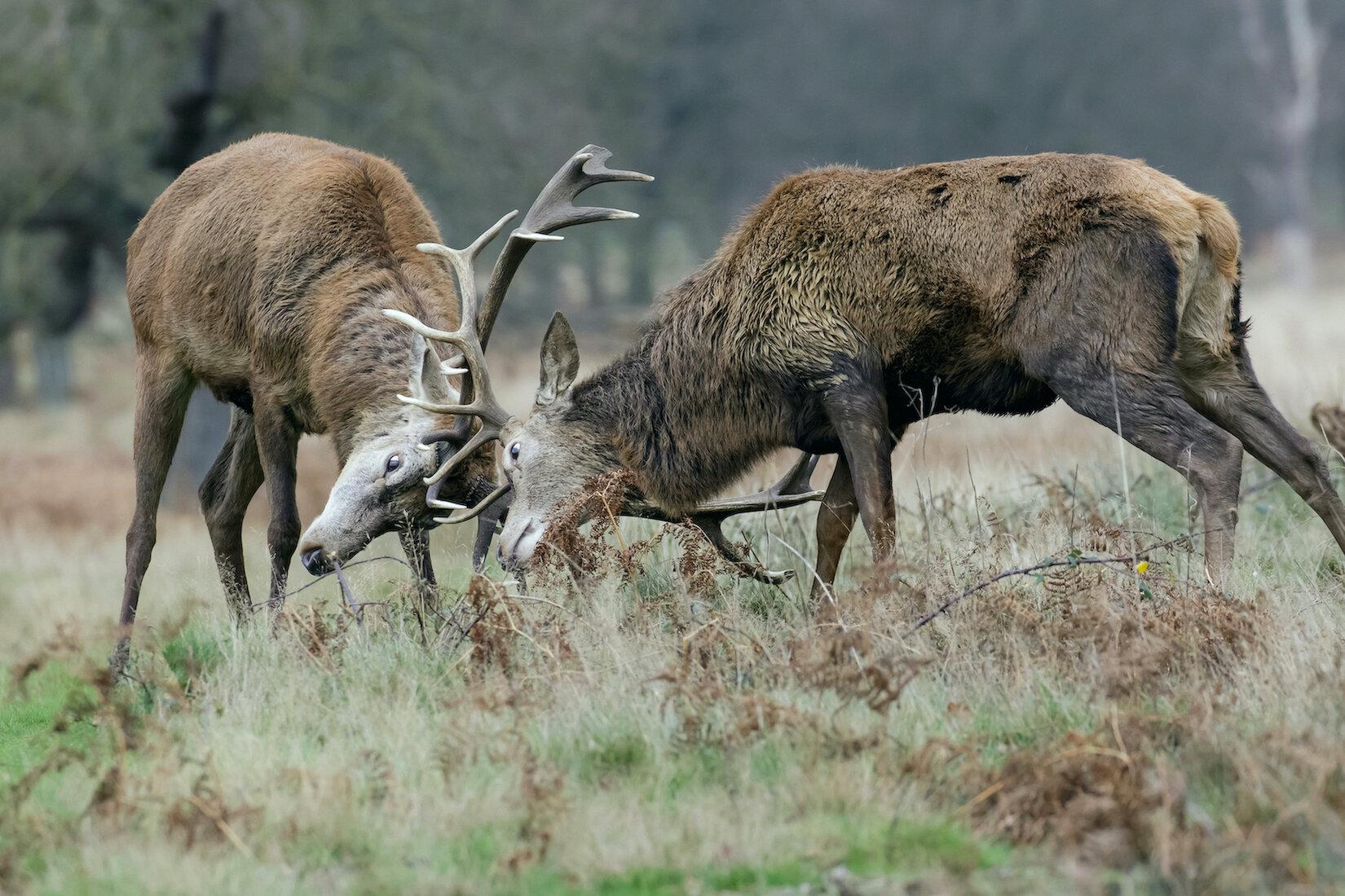 Cerfs élaphes en plein combat
