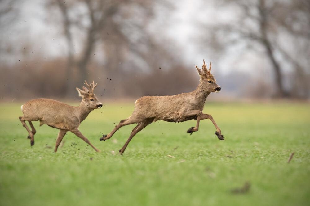 Deux chevreuils en plein saut sur l'herbe