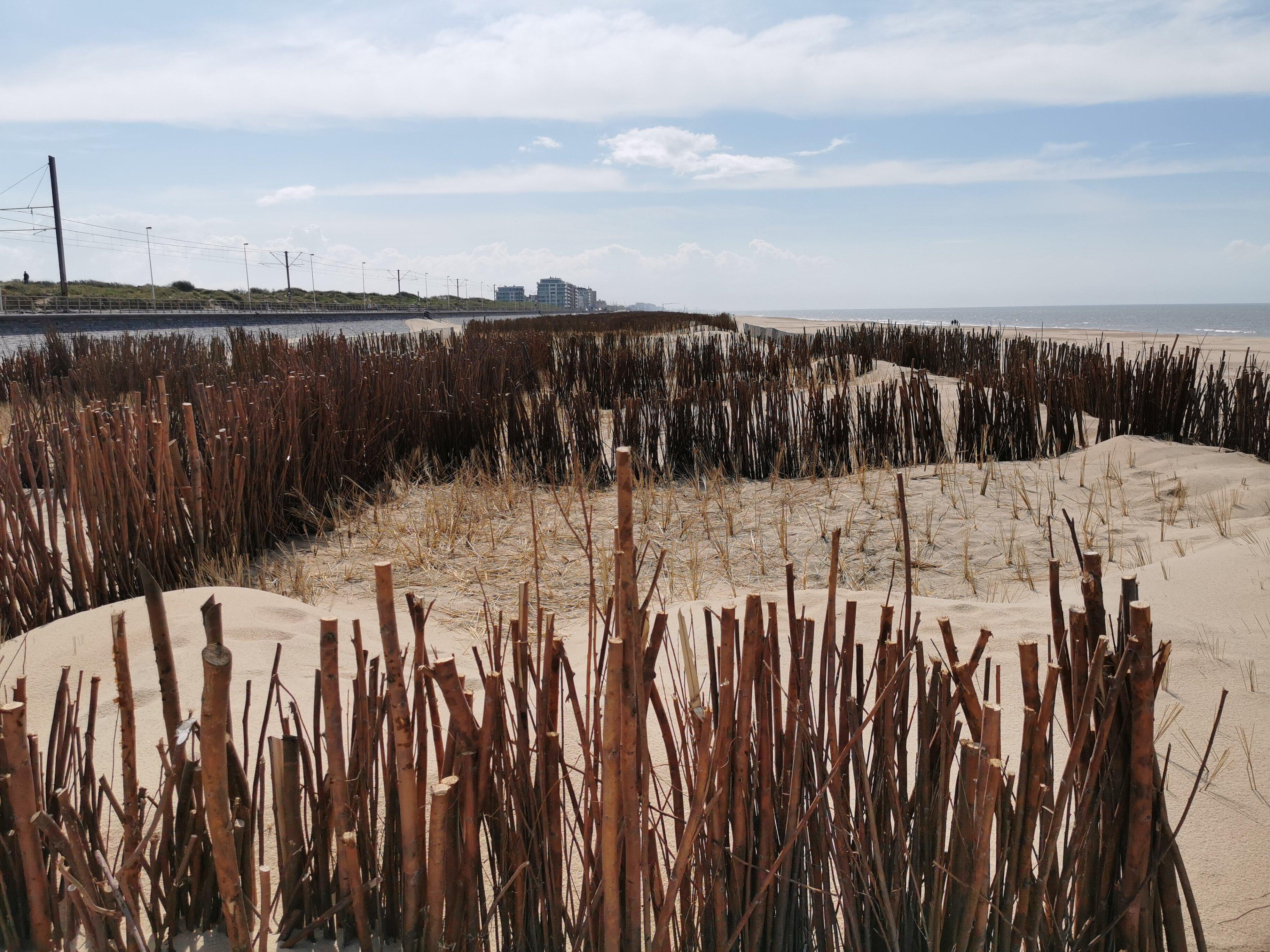 Sur la plage de Raversijde, les oyats et l'assemblage de branches forment une base pour la création de dunes