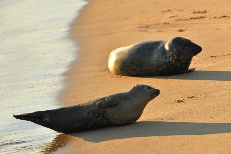 Deux phoques sur la plage d'Ostende