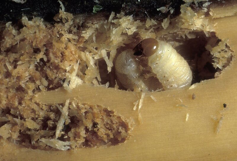 Houtworm aan het werk